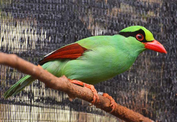 Conservation breeding is the focus for efforts to save the Javan Green-magpie  © Chester Zoo