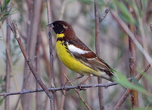 Male Yellow-breasted Bunting © G. Amarkhuu