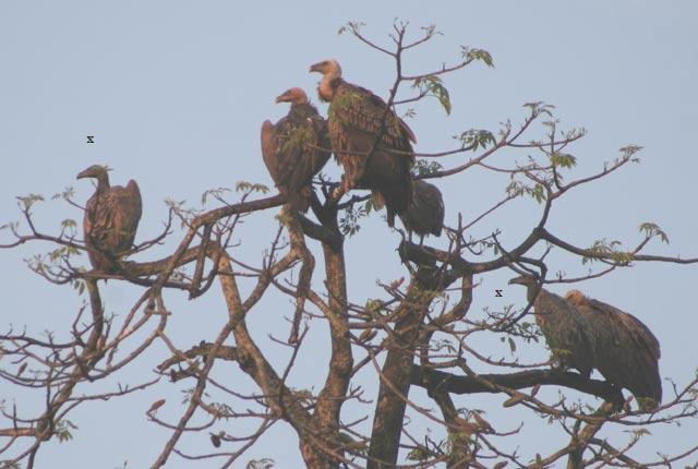 Slender-billed Vultures, Assam (c) James Eaton / Birdtour Asia