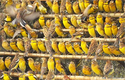 Yellow-breasted Buntings are trapped in huge numbers to be sold as snacks © Huang Qiusheng