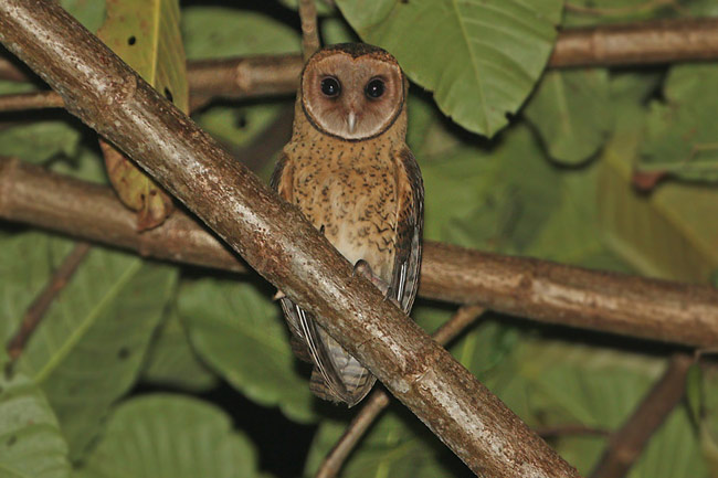 Moluccan Masked Owl Tyto sororcula cayelii , Buru, Maluku, Indonesia © James Eaton/Birdtour Asia