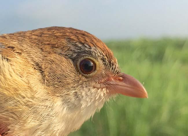 Jerdon's Babbler, rediscovered in Myanmar in May 2014 © Robert Tizard / WCS