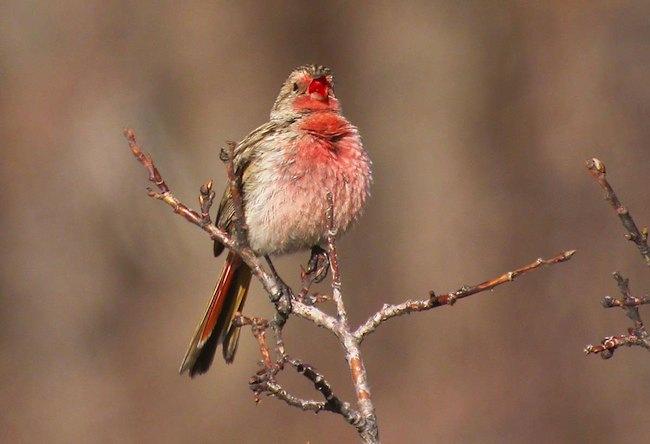 Taxonomic enigma: Pink-tailed Bunting. © Richard Thomas