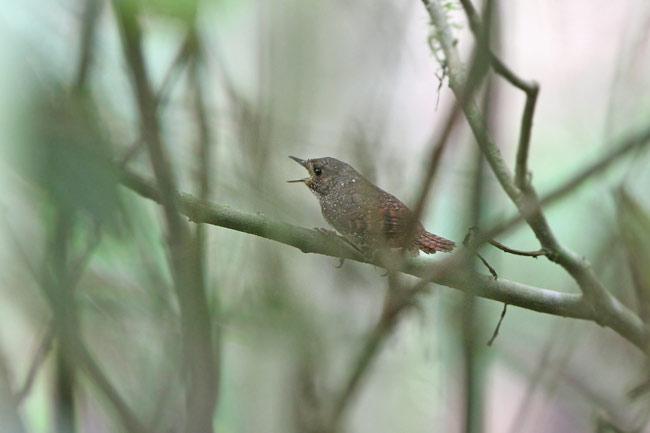 The Spotted Elachura Elachura formosa , newly elevated to single-family status. (c) James Eaton / BirdtourASIA