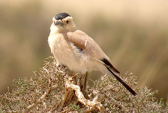 We aim to find spectacular birds like this Henderson's Ground-jay. Photo (c) Richard Thomas