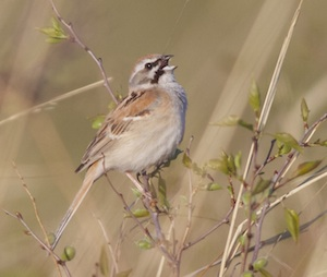 Jankowski's (Rufous-backed) Bunting, photographed at one of the newly discovered grassland sites. Photo (c) Terry Townshend