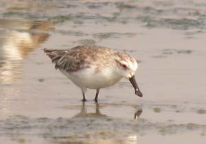 Sonadia Island in Bangladesh, a wintering site for Spoon-billed Sandpipers, has been recognised by BirdLife International as an Important Bird Area (IBA). Photo: © Richard Thomas