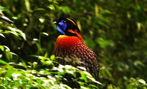 Temminck's Tragopan is one of many spectacular species we hope to encounter on this tour to Yunnan. Photo © Richard Thomas