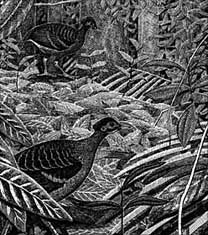Moluccan Megapodes  Bulletin 15  cover (Craig Robson)