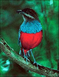 Whiskered Pitta  © Billy Simpson