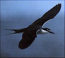 Bridled Tern  © Tony Palliser