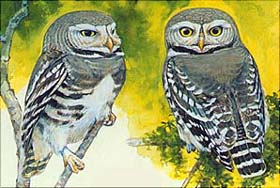 Forest Owlet (Larry B. McQueen)
