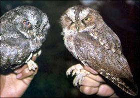 Sangihe Scops Owls  © Jon Riley