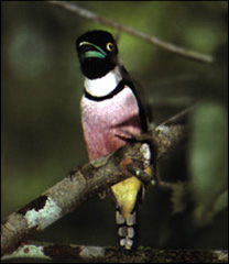 Black-and-yellow Broadbill,  © David and John Cooper