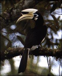 Oriental Pied Hornbill,  © Christian Artuso