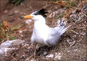Chinese Crested Tern  © Chang Shou-hua