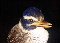 Scaly Kingfisher  © Jon Riley