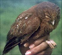 Cinnabar Hawk Owl  © Jon Riley