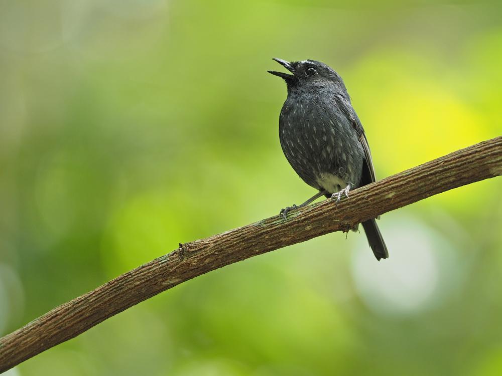 Damar Flycatcher