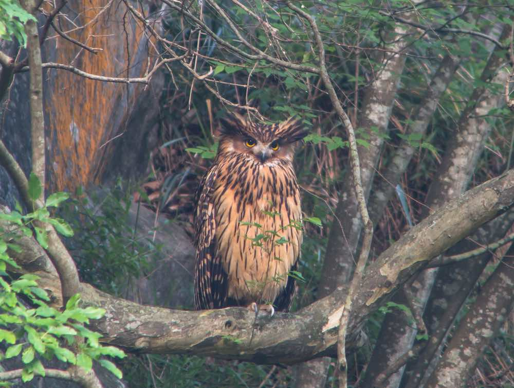 Tawny Fish-owl