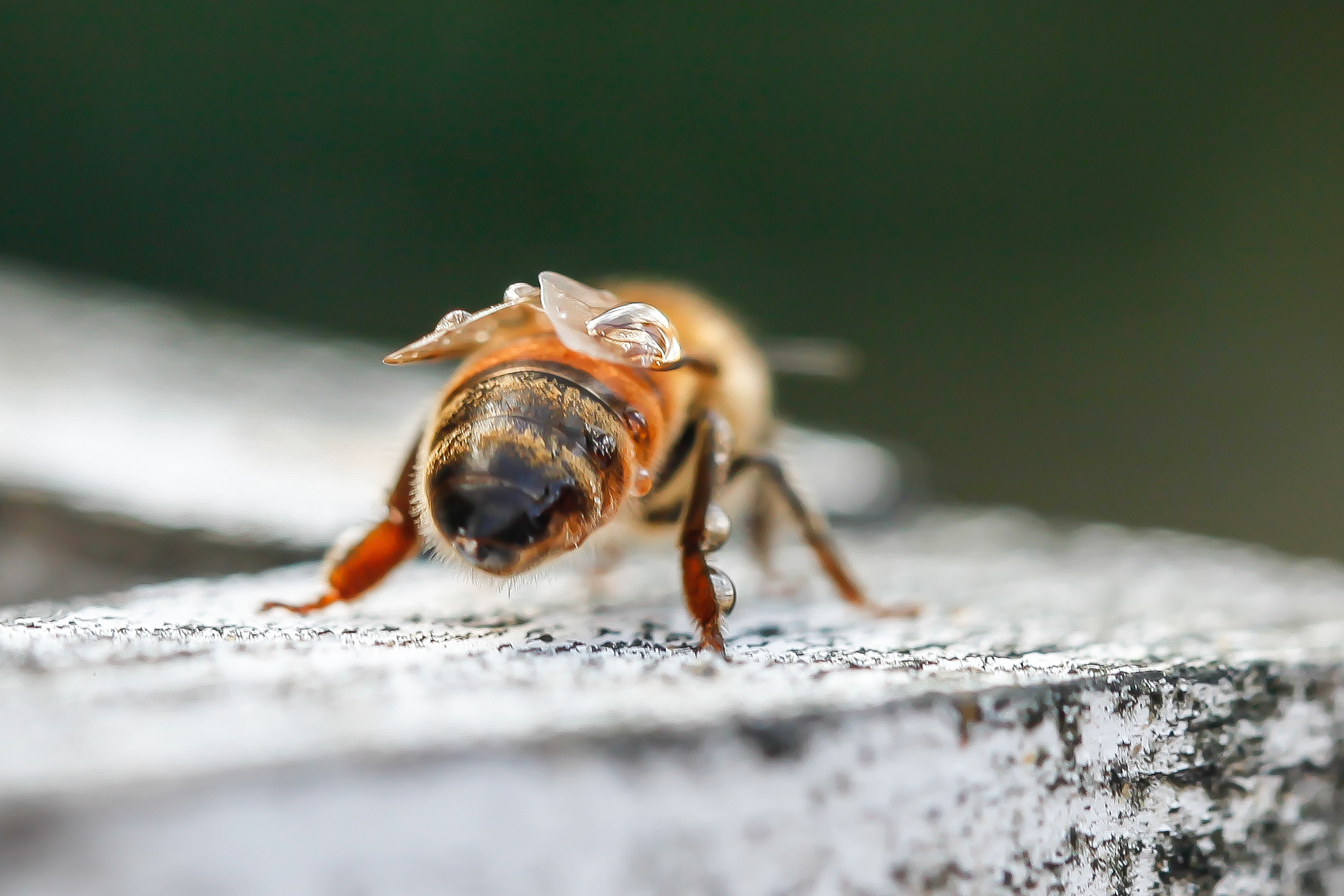 bee with water droplets.jpg