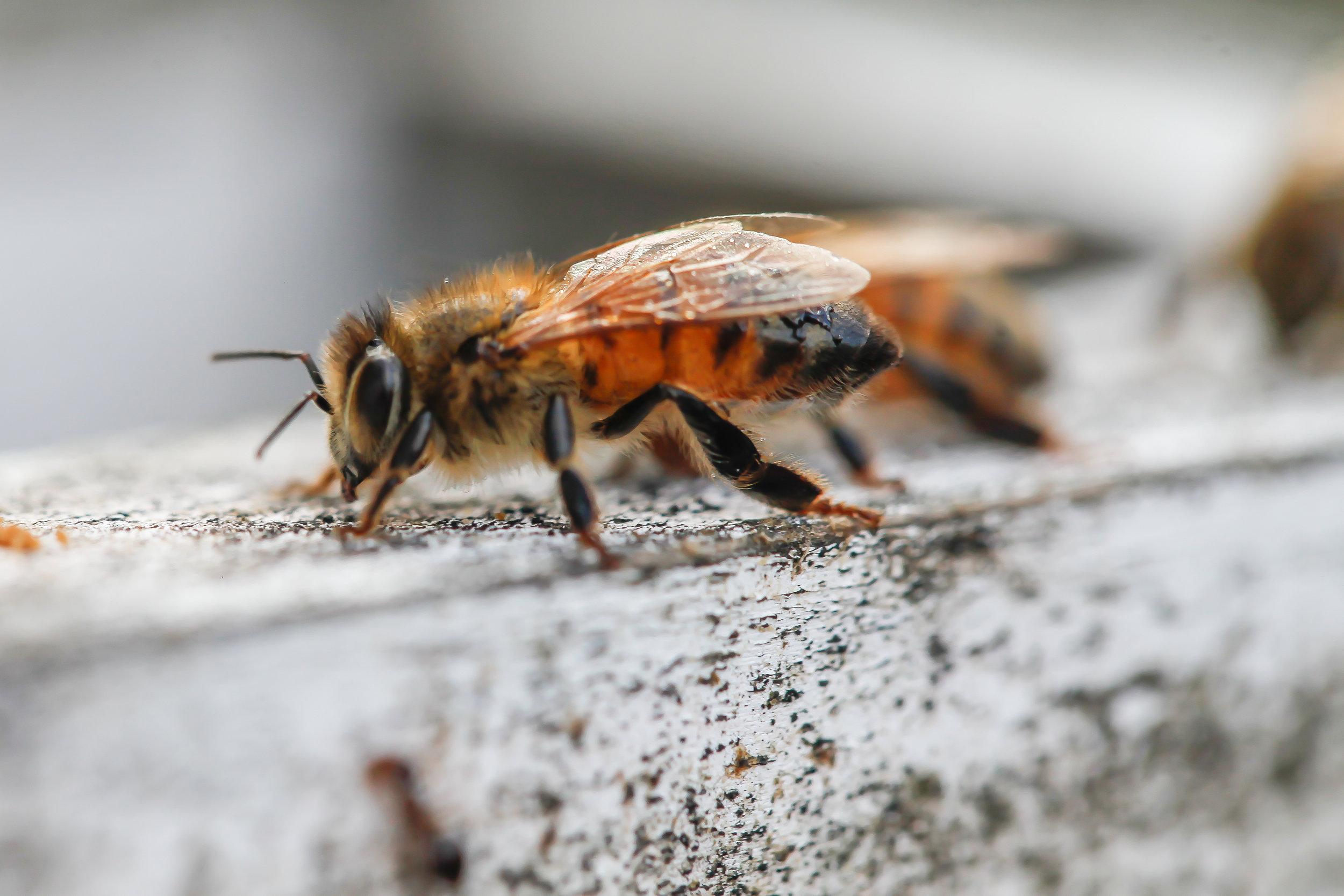 bee closeup.jpg