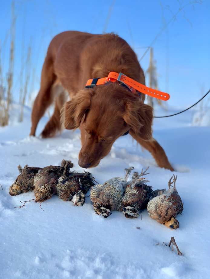 Red_Setter_Bird_Dog_in_Snow