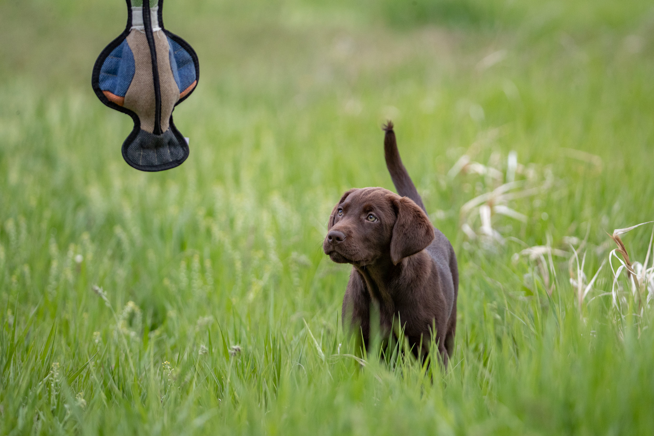 brown_lab_puppy_training.jpeg