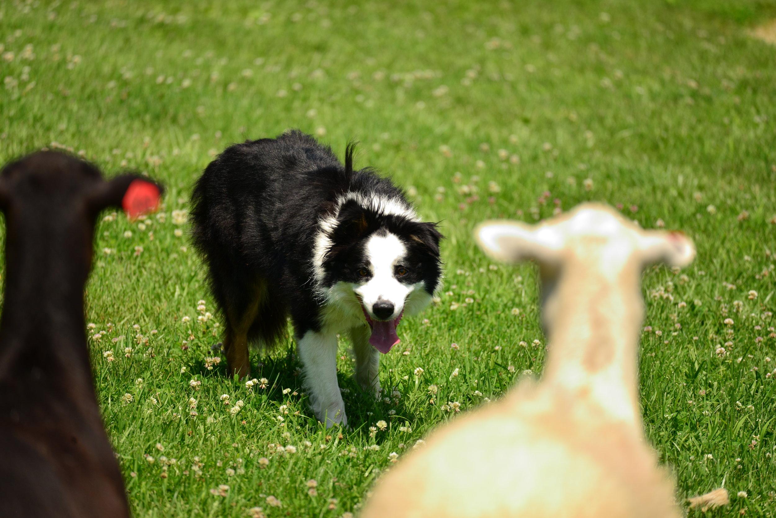 Faansie_Basson_sheep_dog_trainer.JPG