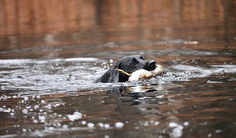 black-lab-swimming-with-duck.jpg