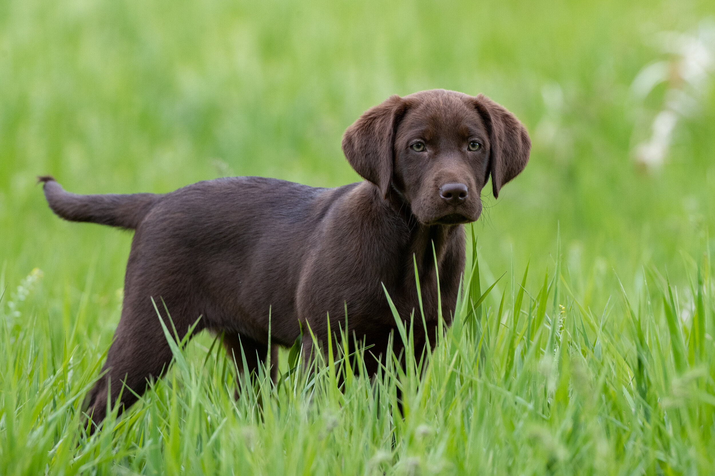 brown_lab_Puppy_in_grass.jpg