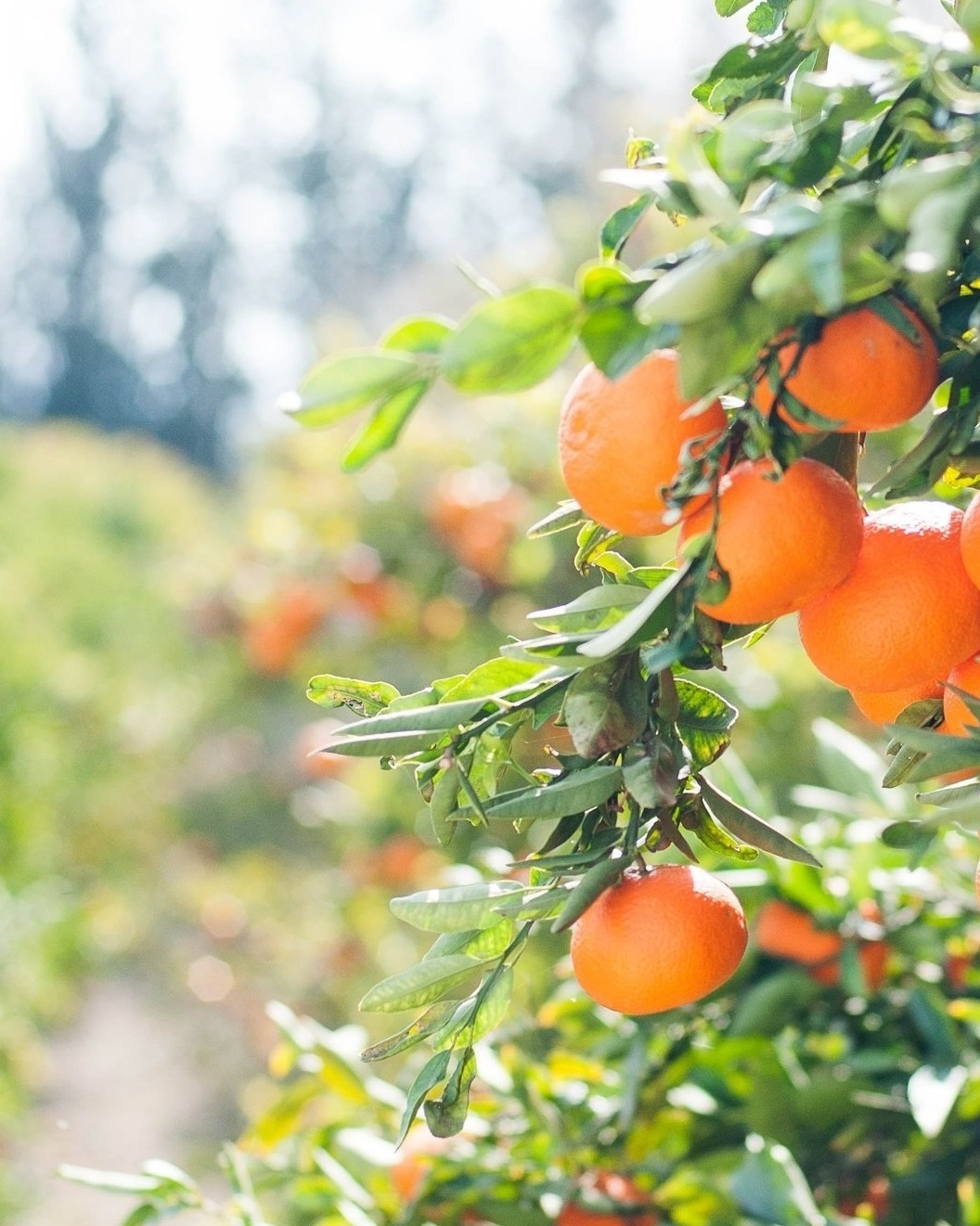 CHINGFORD FRUIT - Focusing on Kiwi and Citrus, a family owned business that has been sourcing some of the finest quality fresh produce for over 50 years. Learn more about Chingford Fruit here