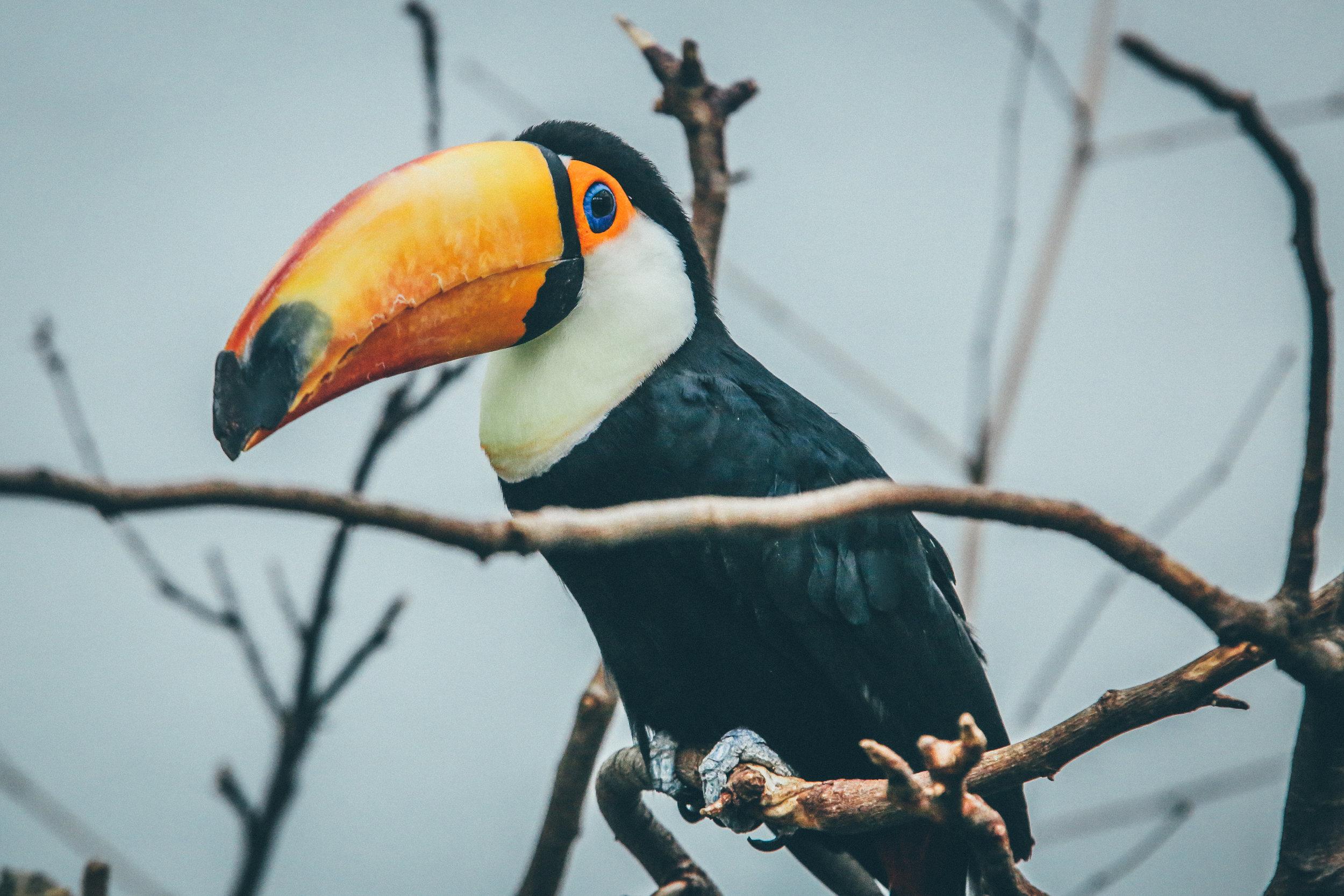 Tucanes - Son algunos de los hermosos animalesque podrás ver en tu travesía