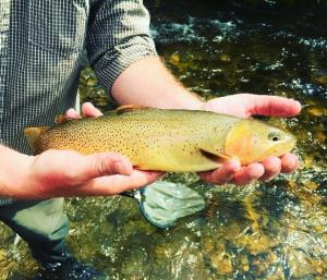 Yellowstone Cutthtroat Trout