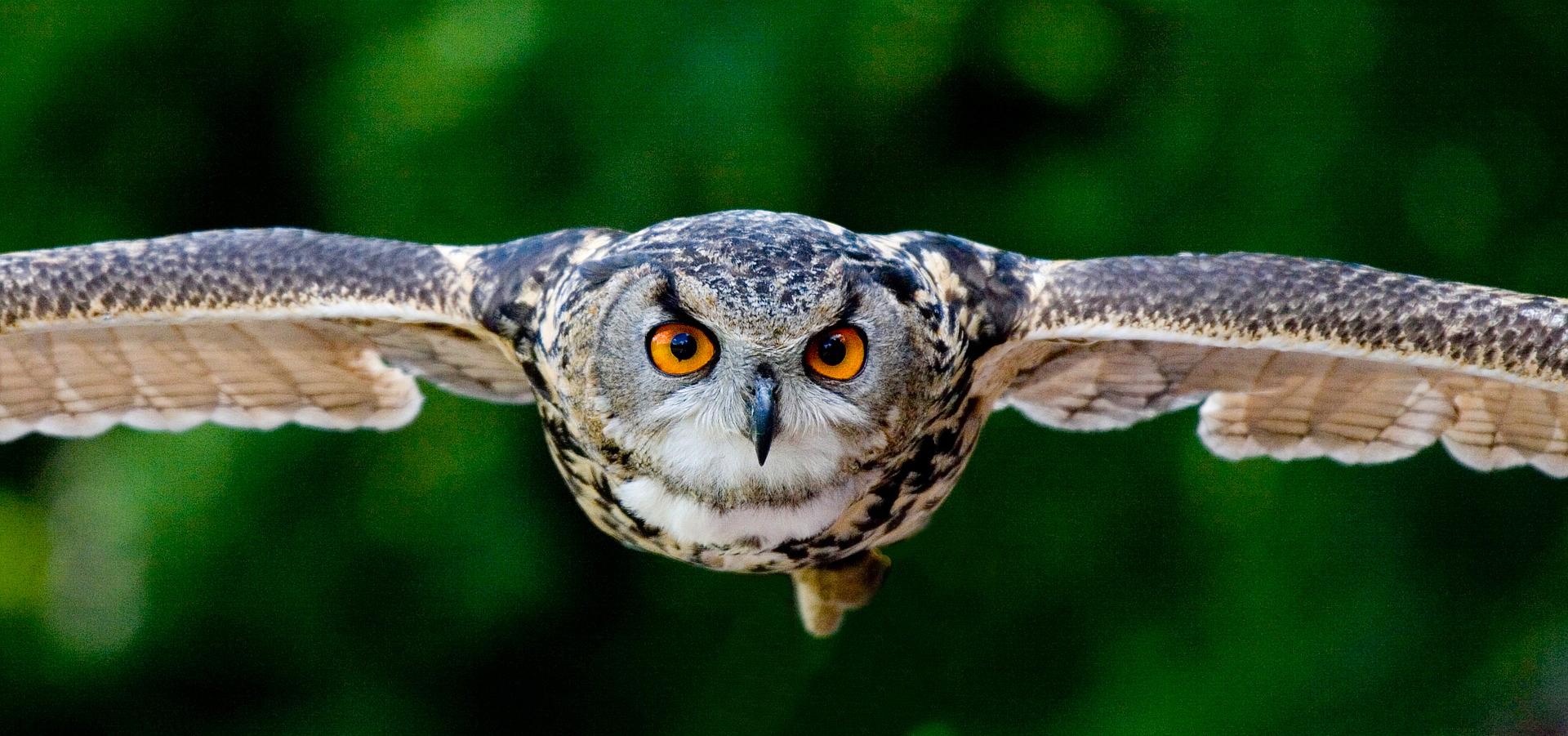 owlA3.jpg