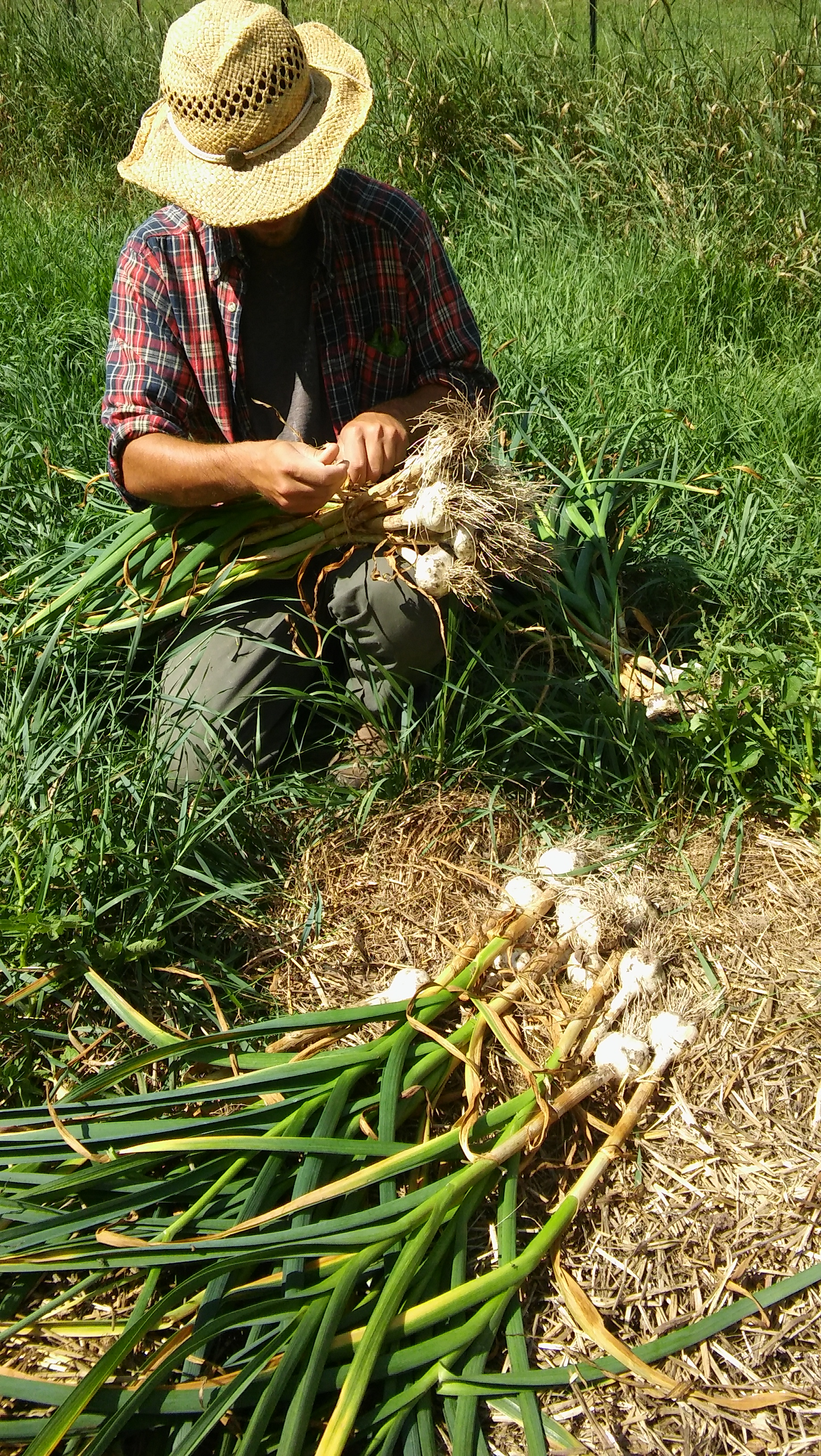 Casey bundles garlic, Folk Tree Farm