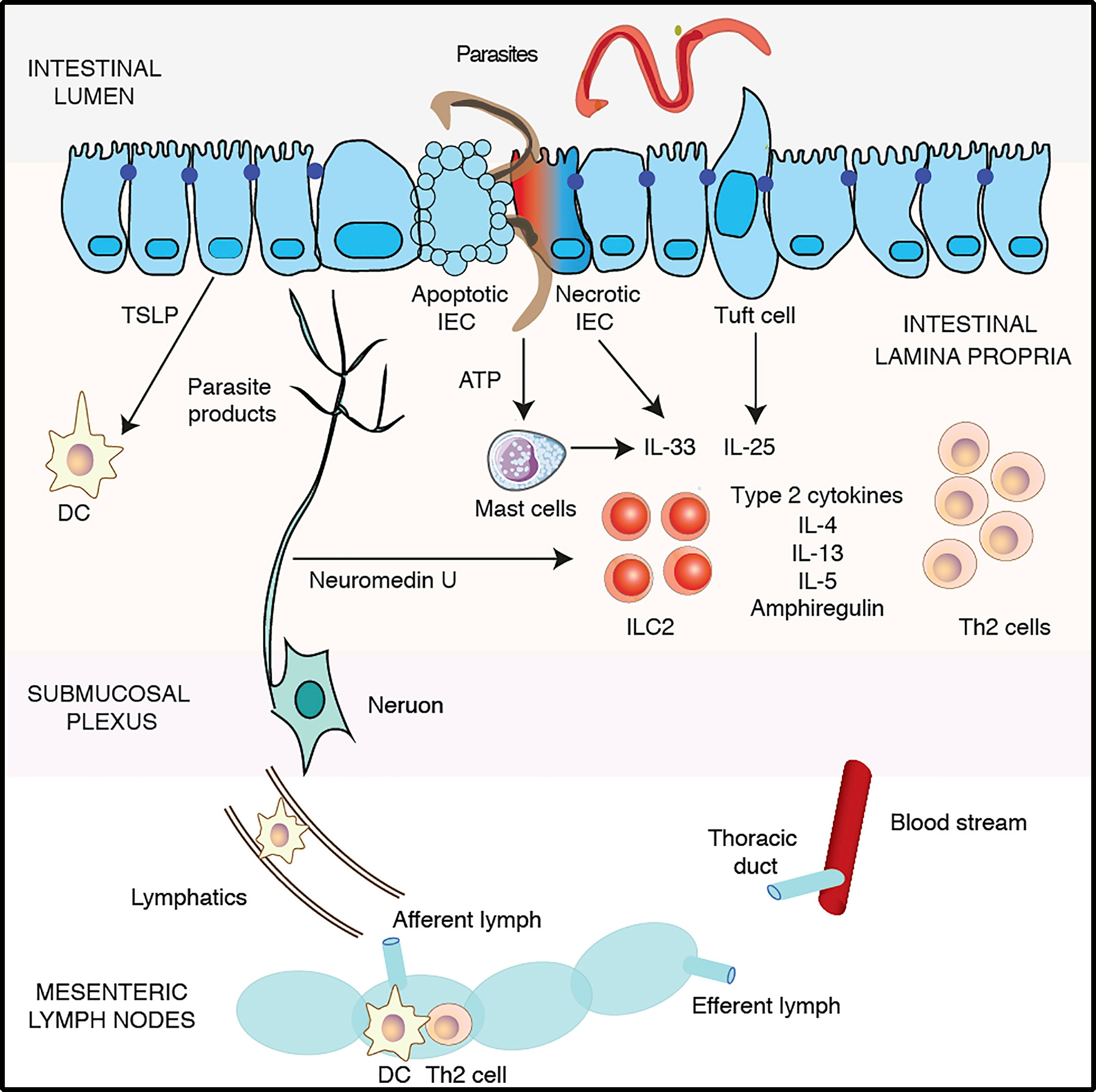 Recent Advances in Type-2-Cell-Mediated Immunity: Insights from Helminth Infection