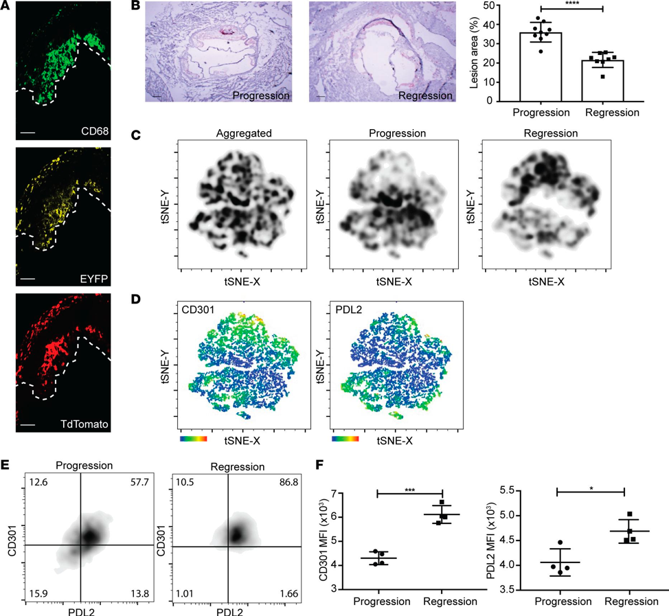 Fate mapping the conversion of CX3CR1+ cells into plaque macrophages