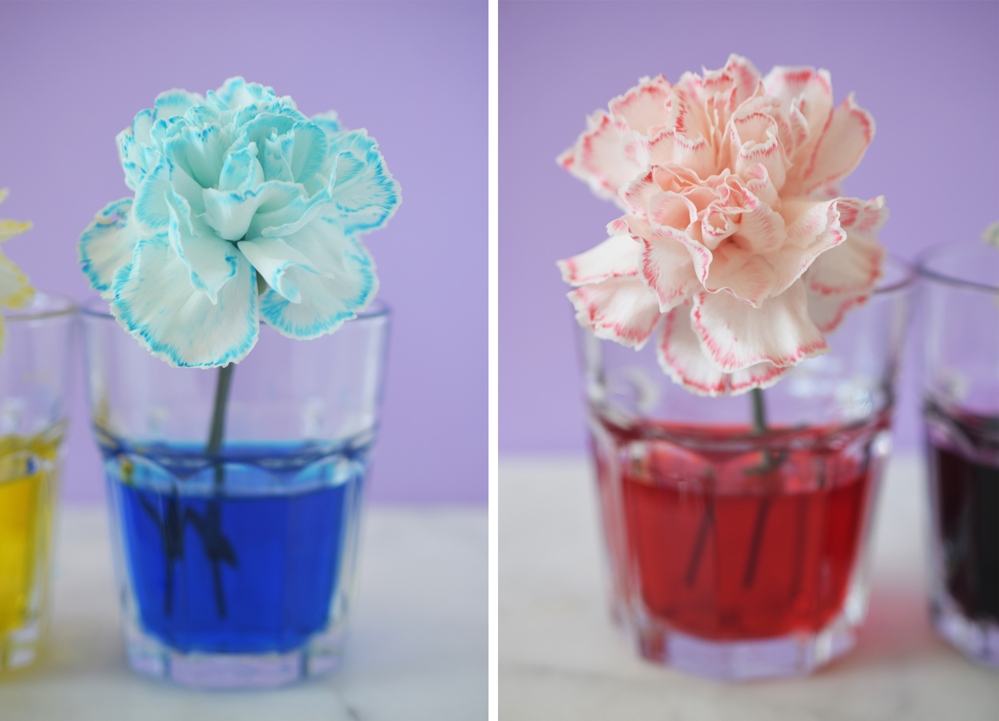 color changing flowers science experiment for kids