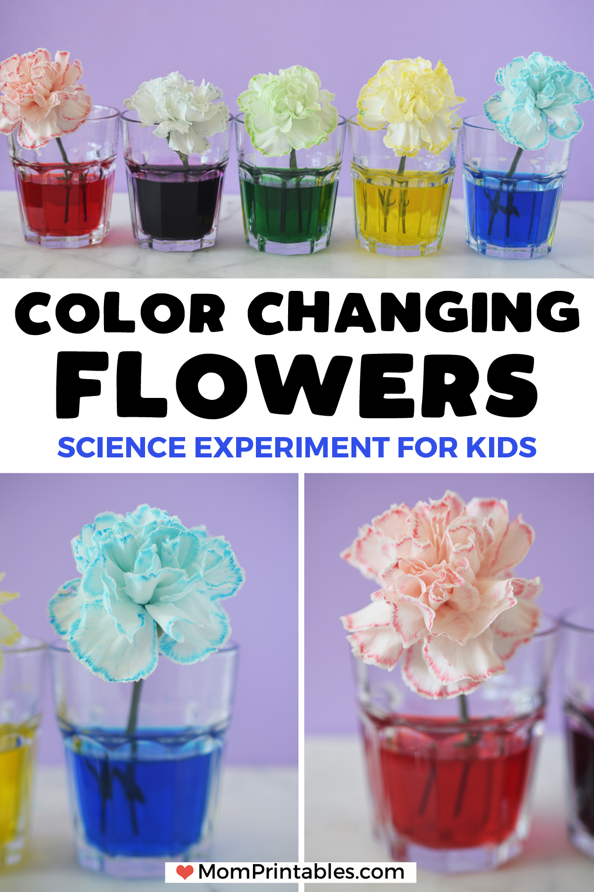 color changing flowers science experiment for kids | science project | experiment | for kids | beautiful | white carnations | colour | centre pieces | spring | nature | plants | science | kids craft | kids activity | science at home | stems | STEAM #kidsscience #kidscraft #kidsactivity #science #scienceexperiment