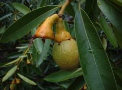 bay-fruit.png