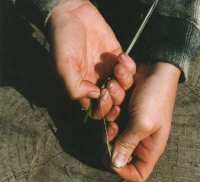 Scrape your fingernail along the fiber toward one end.  The bulk of the leaf should peel away leaving the single fiber.