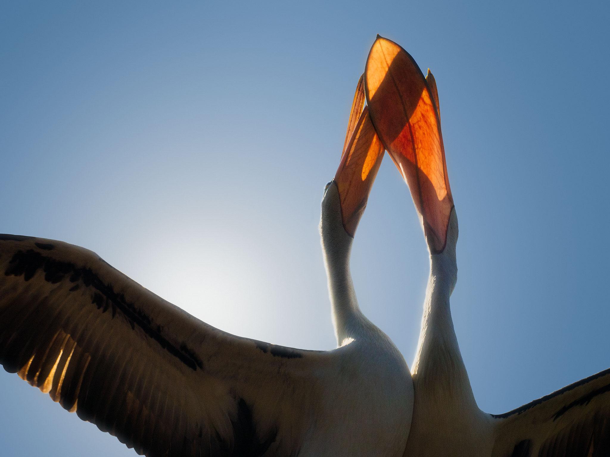 pelican_backlit.jpg