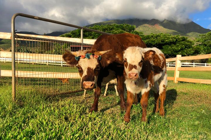 Maui-lahaina-animal-petting-zoo-cows-sm.jpg
