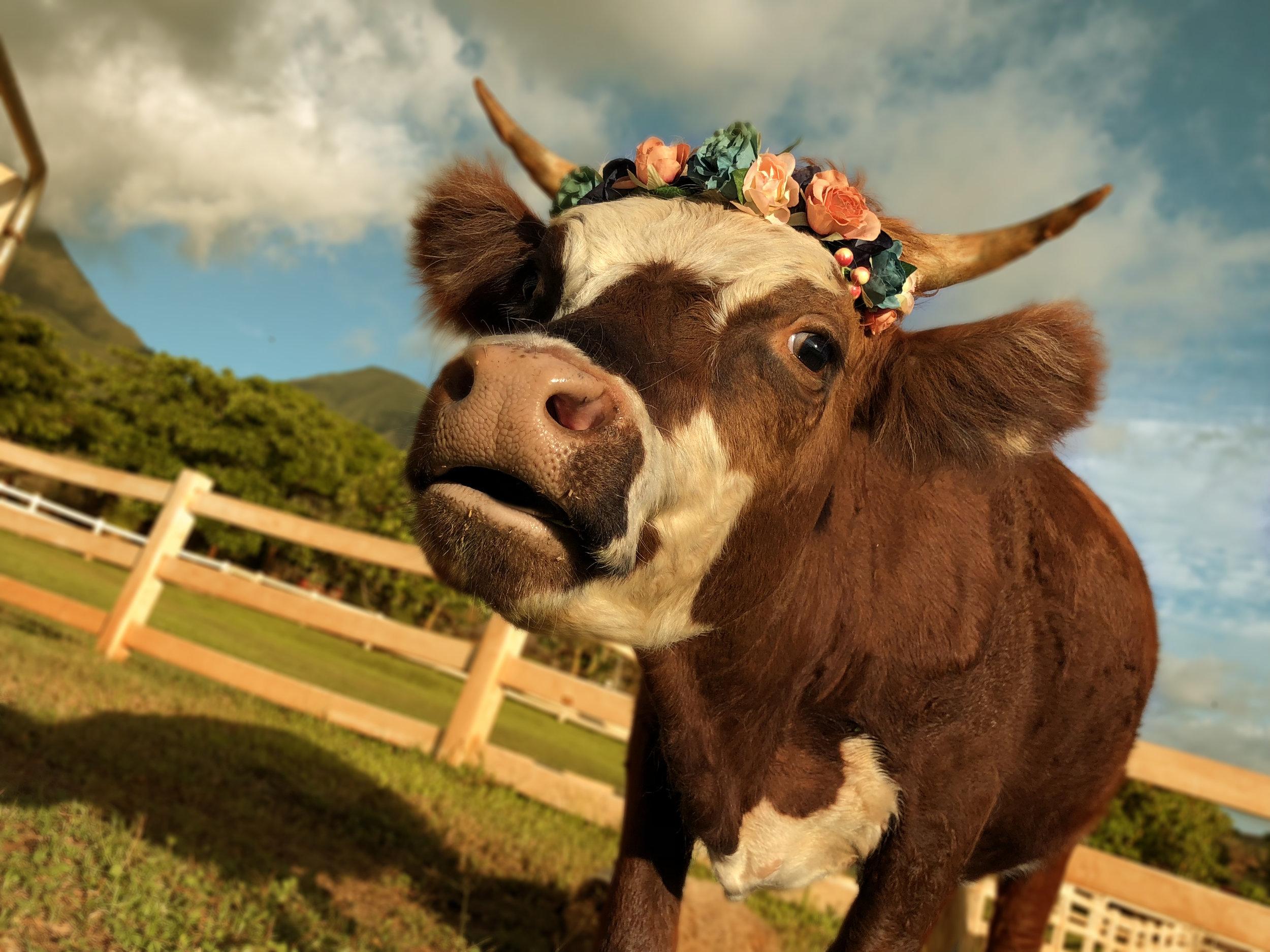 Maui-Lahaina-Animal-petting-zoo-cows2.jpg