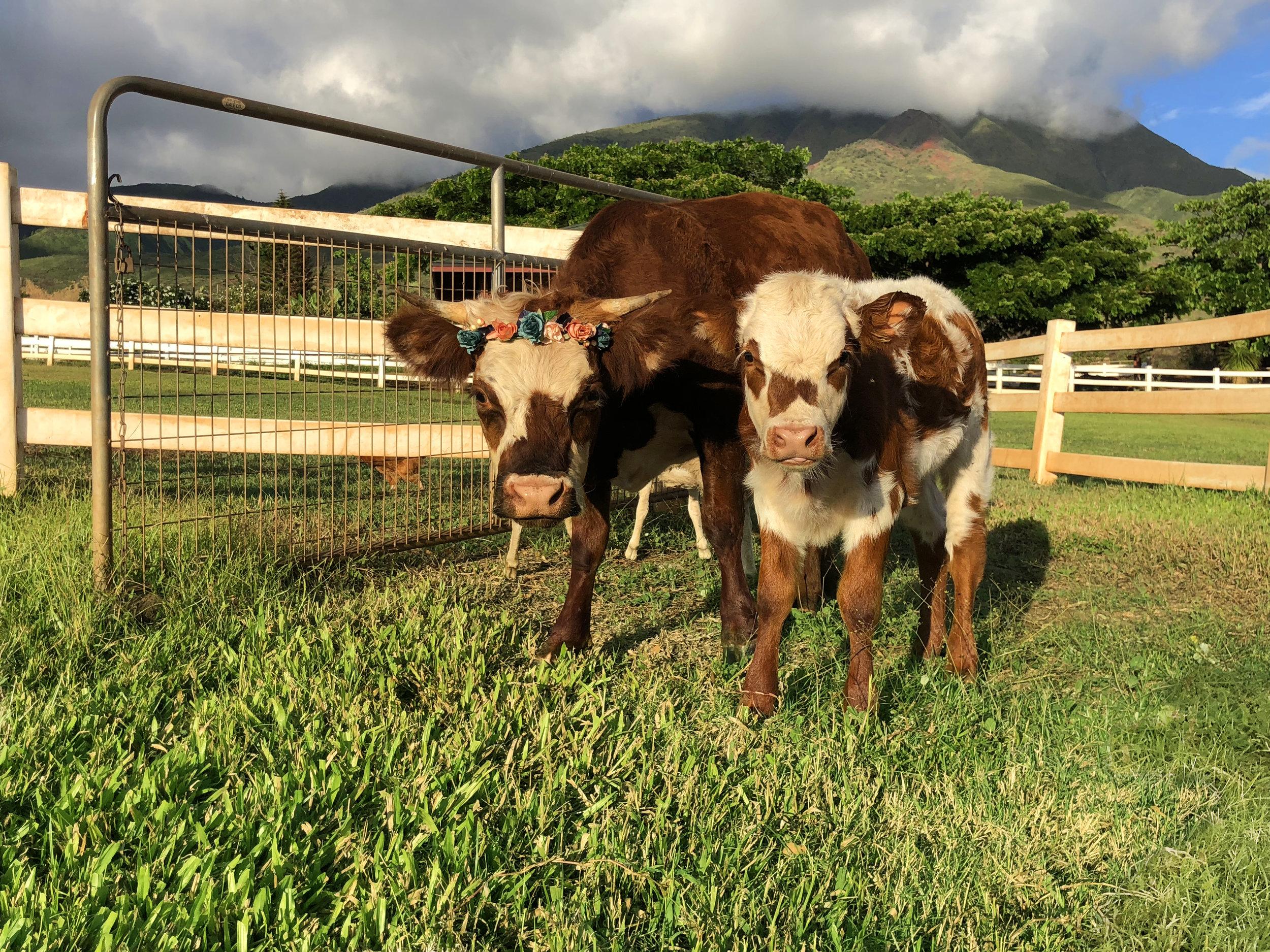 Maui-Lahaina-Animal-petting-zoo-cows1.jpg