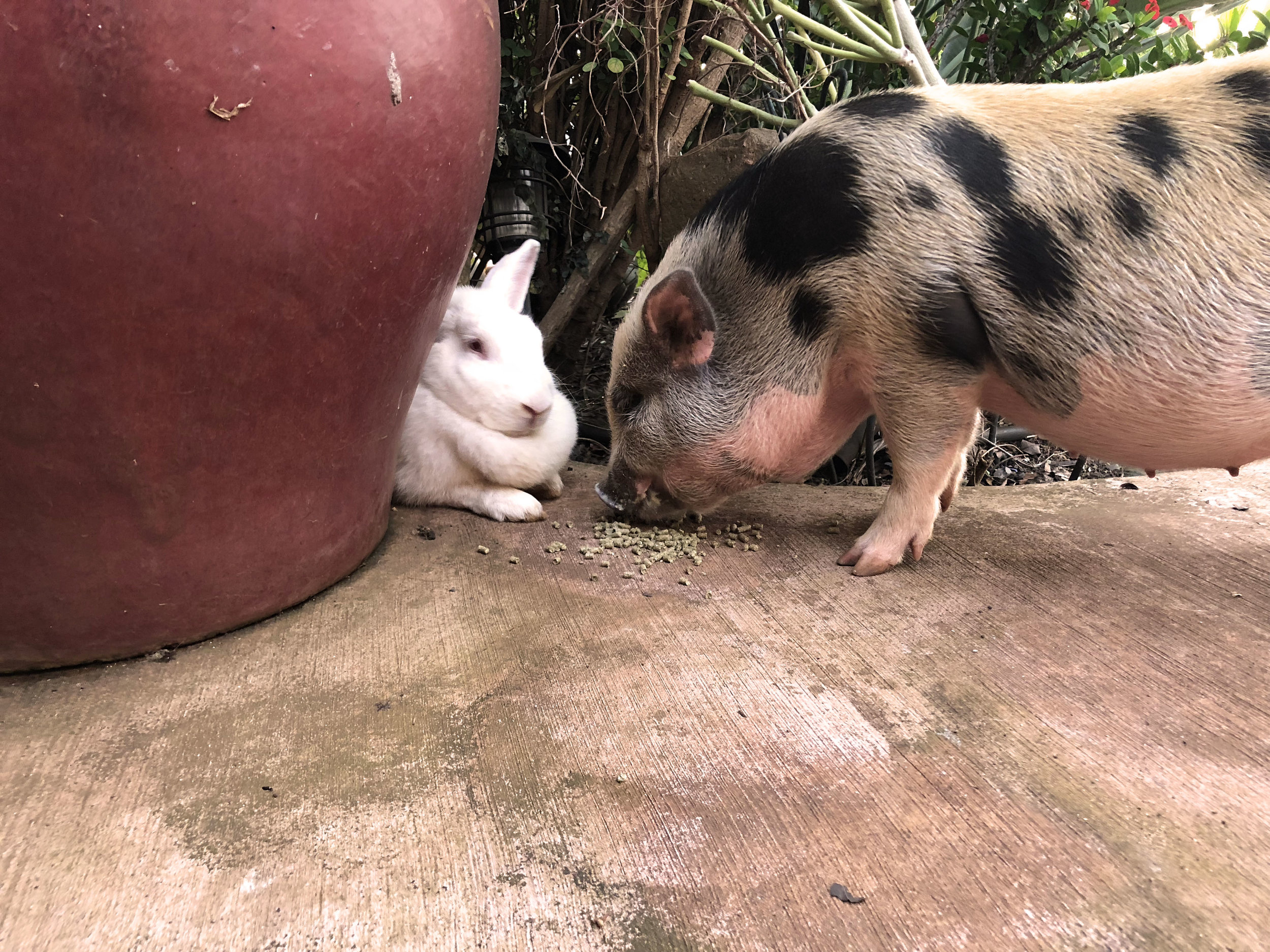 "Miniature pig & a rescued pig - ""Pua"" (Flower in Hawaiian) our mini pig is a troublemaker but cute as can be! And, our rescued wild pig ""Honey Girl"" could not be sweeter."
