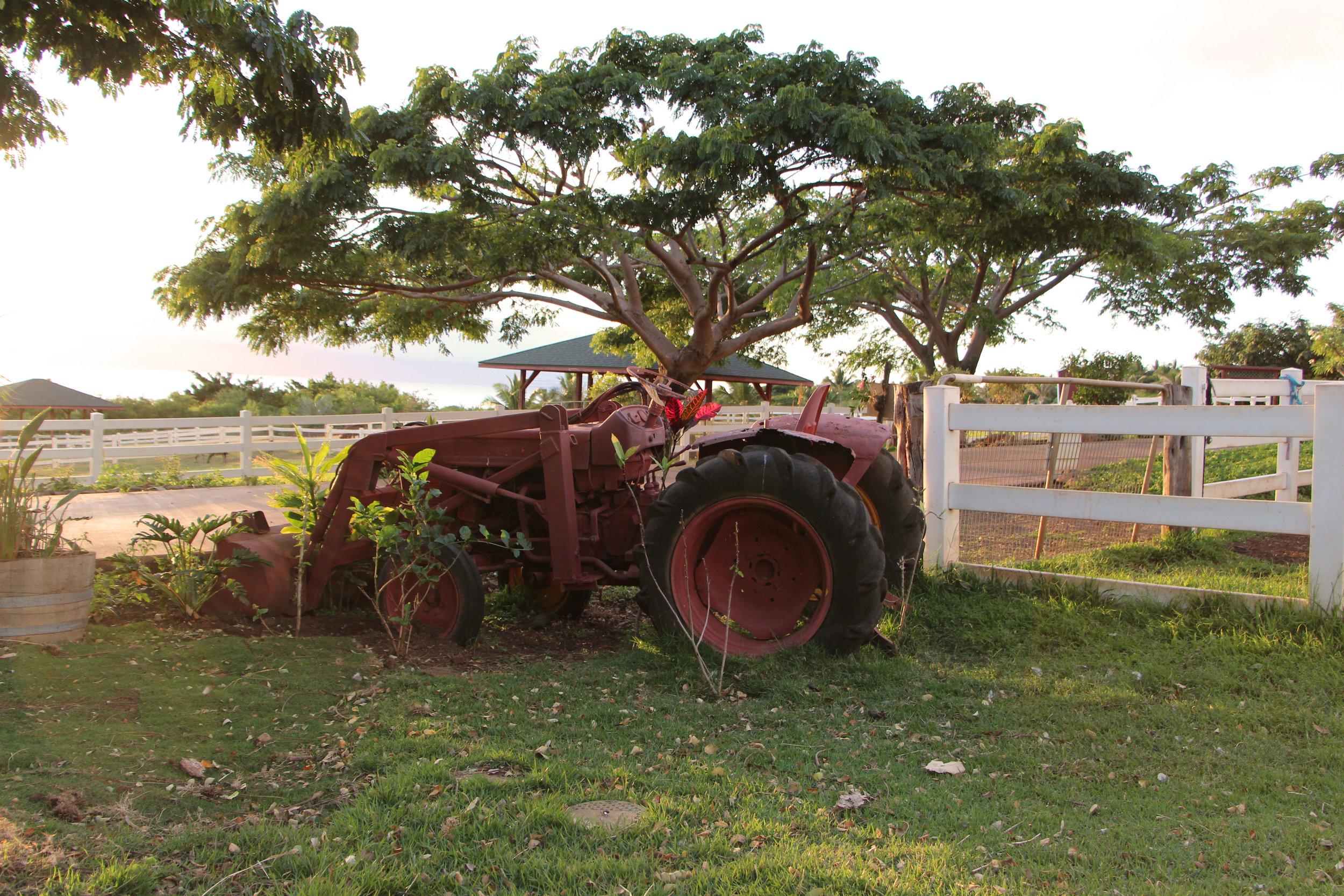 Maui-Lahaina-Animal-petting-zoo-cows2_7601-tractor.jpg