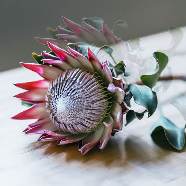The King Protea: an emblem of beauty and the flowering potential.⁣ What potential can be unlocked in your health today?⁣ ⁣ #WellnessWednesday⁣ ⁣ ⁣ Life awaits.⁣ #HummingbirdHealthZA⁣ ⁣ ______________⁣ ⁣ +27 (0)21 007 5184 • Mon to Fri 9am - 5pm⁣ Unit 202, The Gateway⁣ Century City, Cape Town⁣ •⁣ •⁣ •⁣ •⁣ •⁣ •⁣ •⁣ •⁣ •⁣ #CapeTown #IntegrativeMedicine #FunctionalMedicine #HolisticNutrition #HealingwithFood #IntegrativeDoctor #TruthAboutCancer #EmotionalHealth #SwitchOnYourBrain #Psychology #BodySoulSpirit #Wellness #HealthWellness #Wholeness⁣
