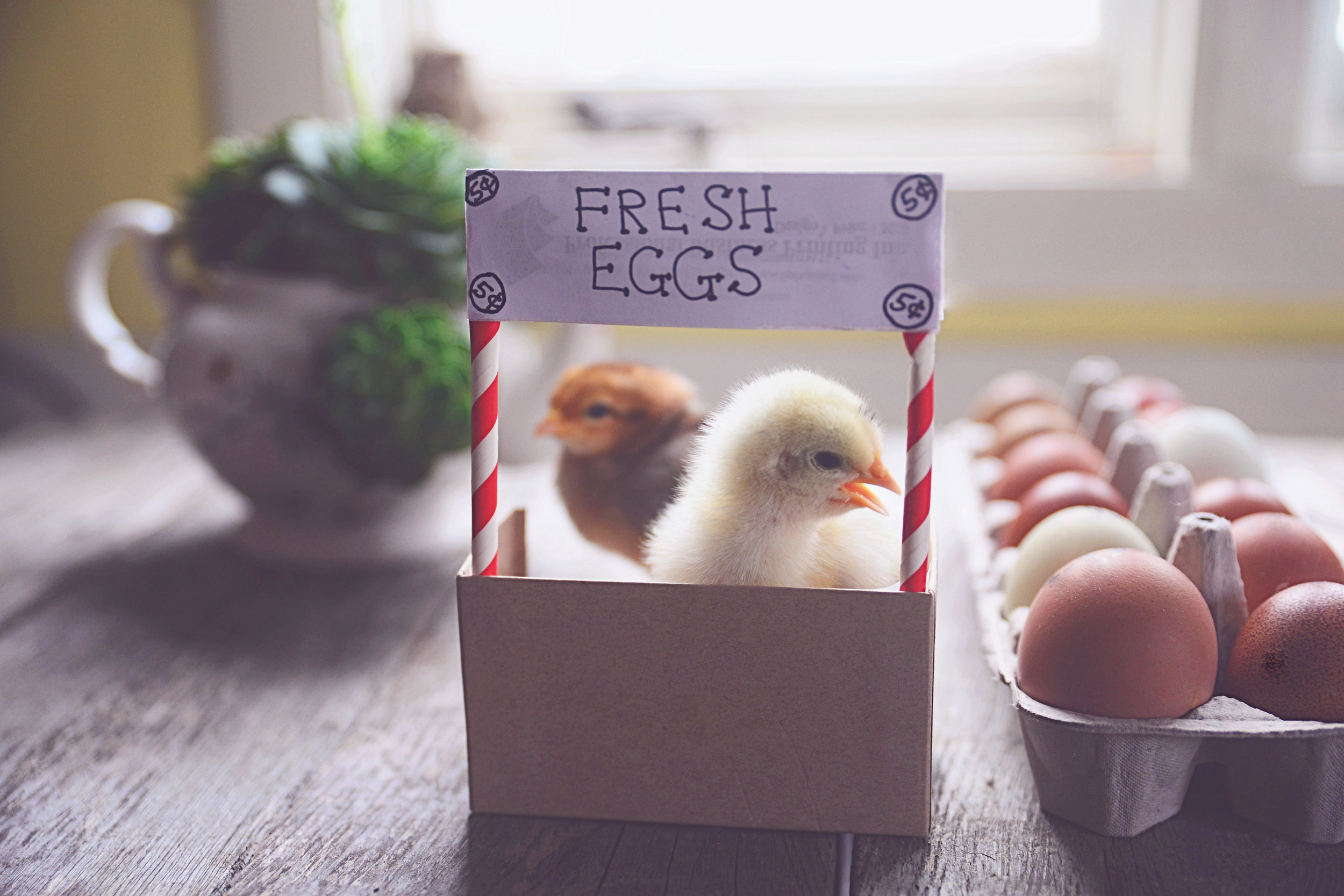 HATCHING EGGS - We can ship across the United States March - June, and September, October. We use foam shippers, and have had great success shipping MA-CA. USPS 2-3 priority mail.MA - NPIP # 1362